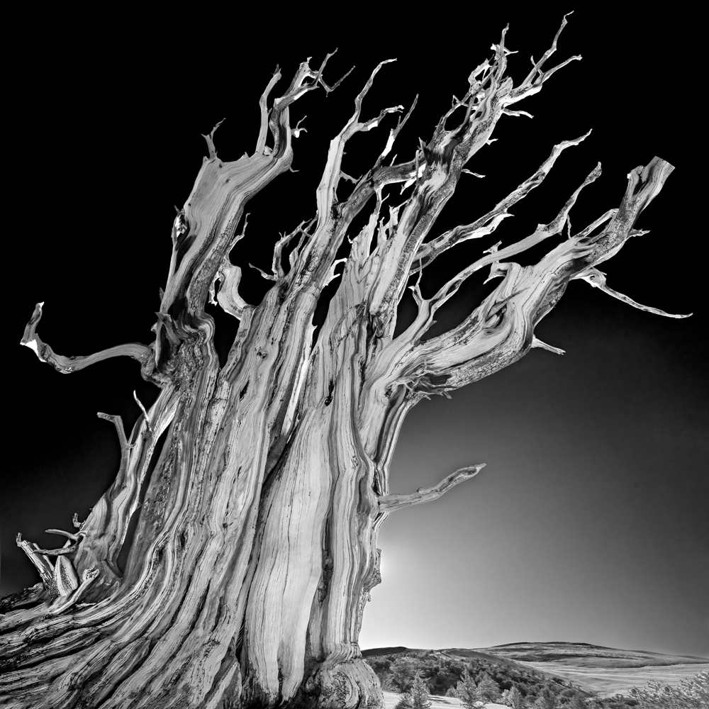 Bristlecone. White Mountains, California.
