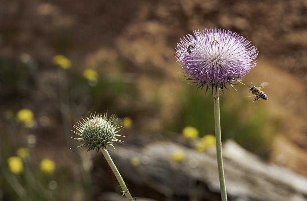 Wild Artichoke Bloom & Honey Bee, Sony A7rM3
