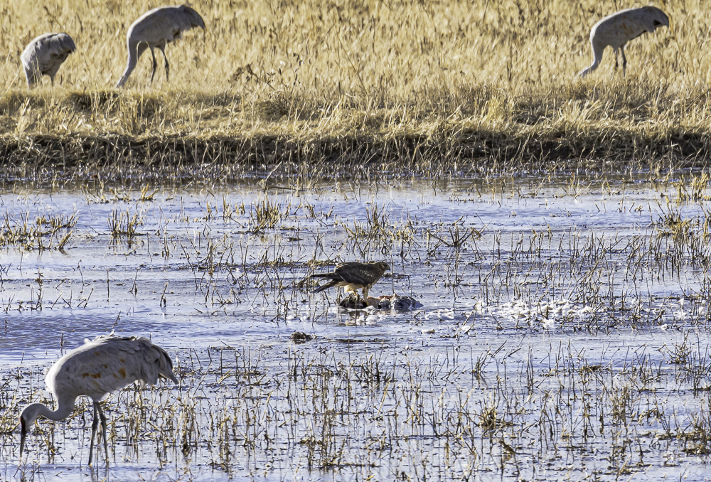 """Northern Harrier Feeding on Freshly Killed Duck"""