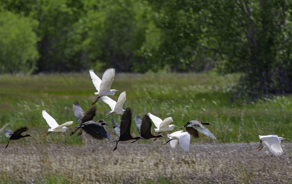 """""""Low-flying Egrets with Glossy Ibis"""""""