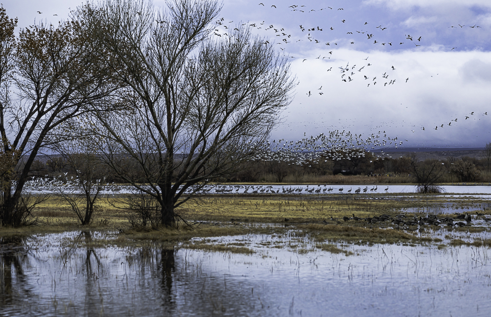 """""""Pre-sunrise Take-off, Snow Geese with Cranes Waiting Their Turn"""""""