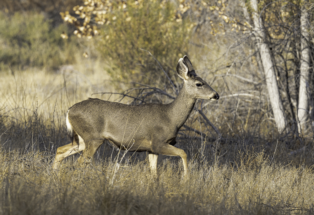 """""""Mule Deer, Catching Up with the Herd"""""""