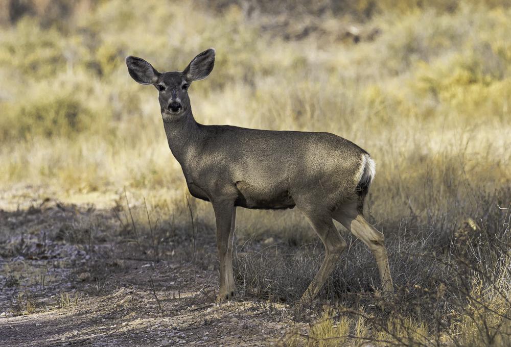 """Mule Deer, a Local BDA Resident"""