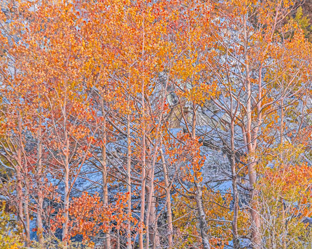 Fall Colors #1, Eastern Sierra Nevada, 2019