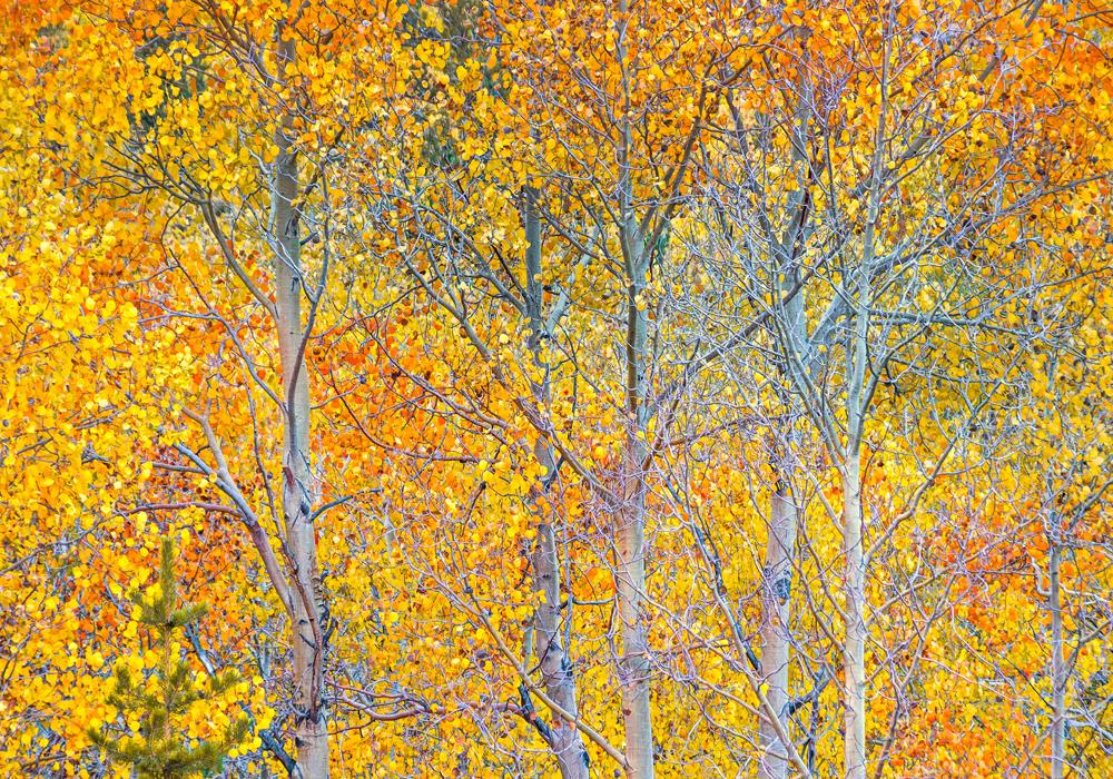 Fall Colors #2, Eastern Sierra Nevada, 2019