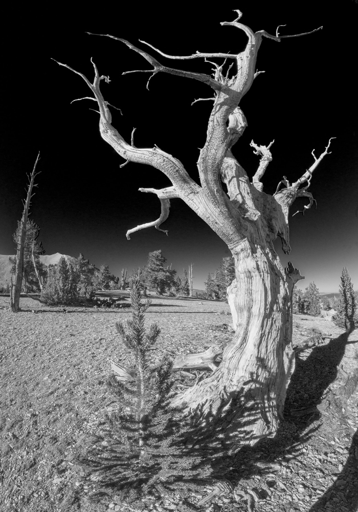 Bristlecone pine before and after