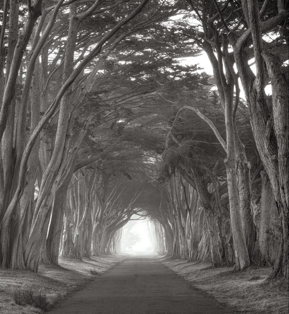 Cypress, Point Reyes