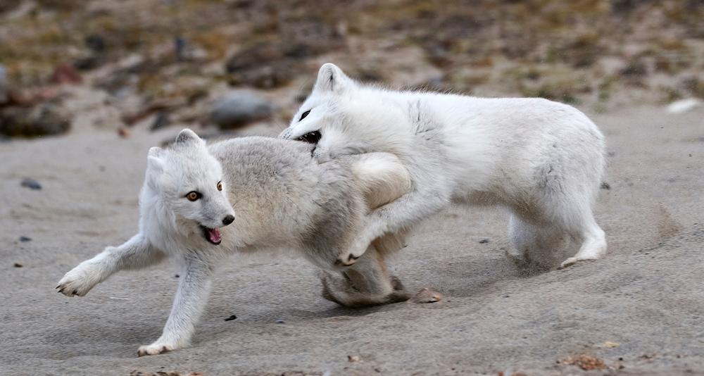 Arctic Fox in Svalbard