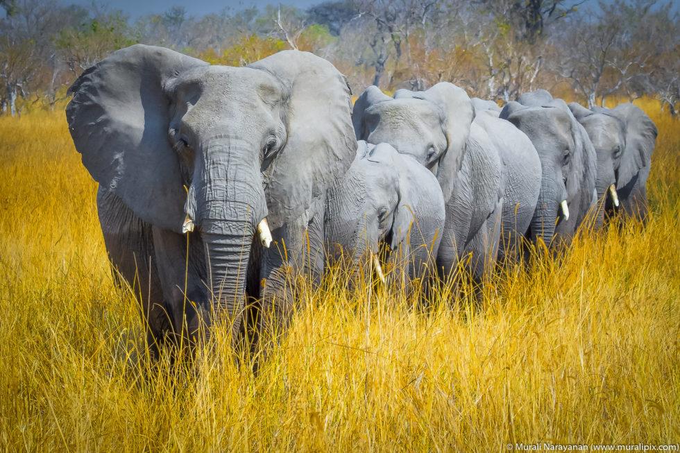 Botswana Elephant Train