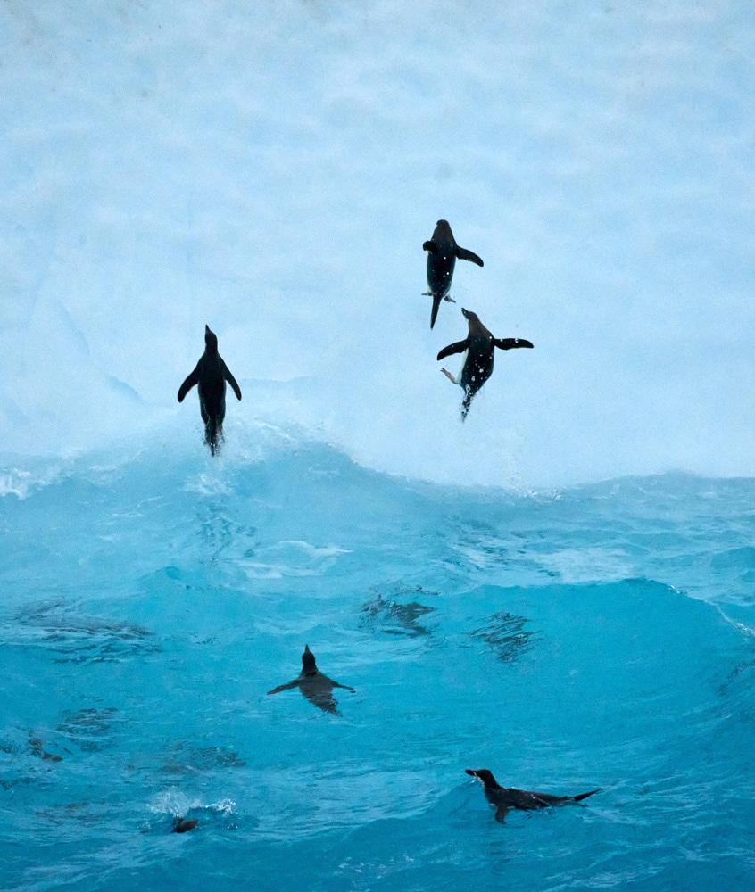 Chin Strap Penguins jumping onto an iceberg