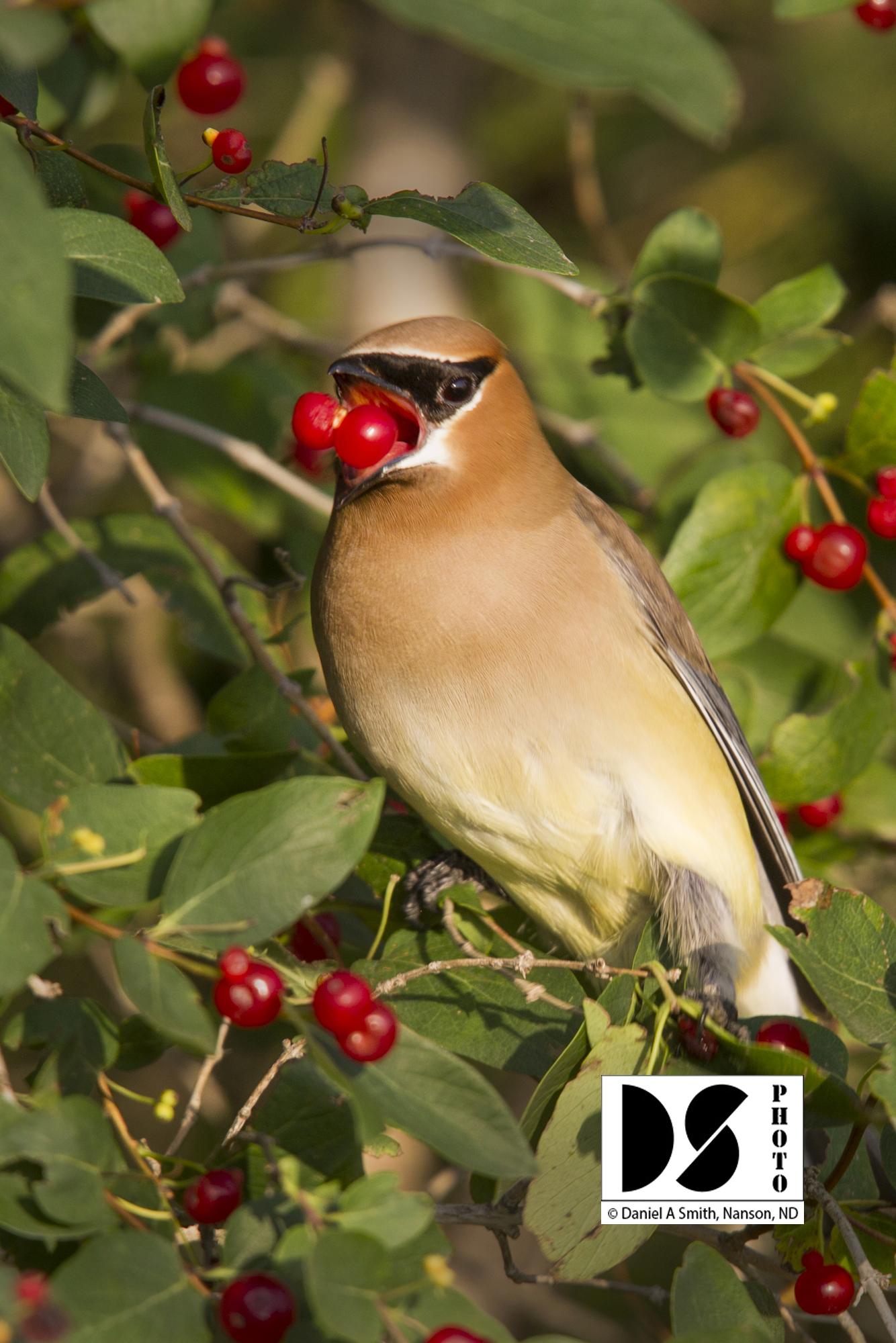 © 2020 Daniel A Smith, Cedar Waxwing with Honeysuckle berries