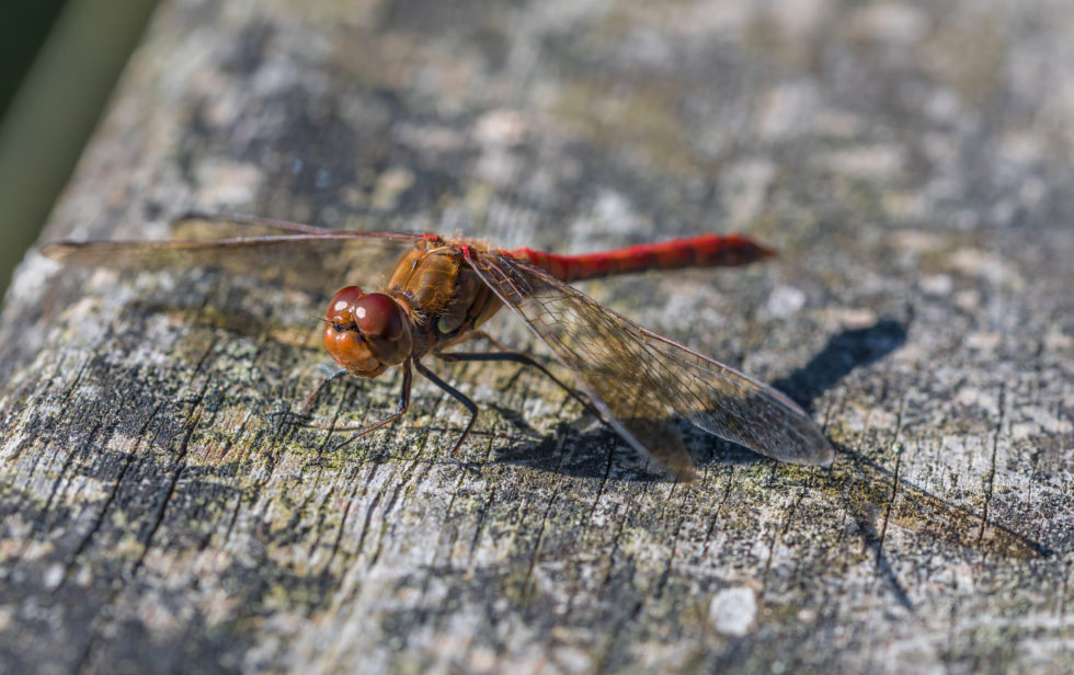 Dragonfly in late summer …