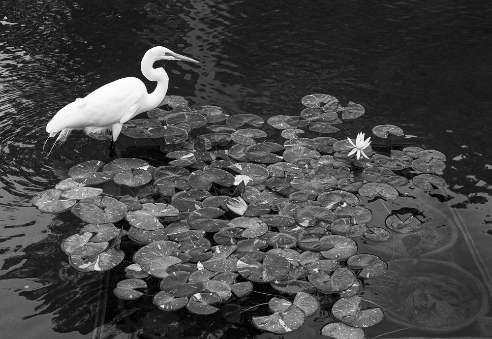 """Egret Fishing a Koi Pond"" in B&W"