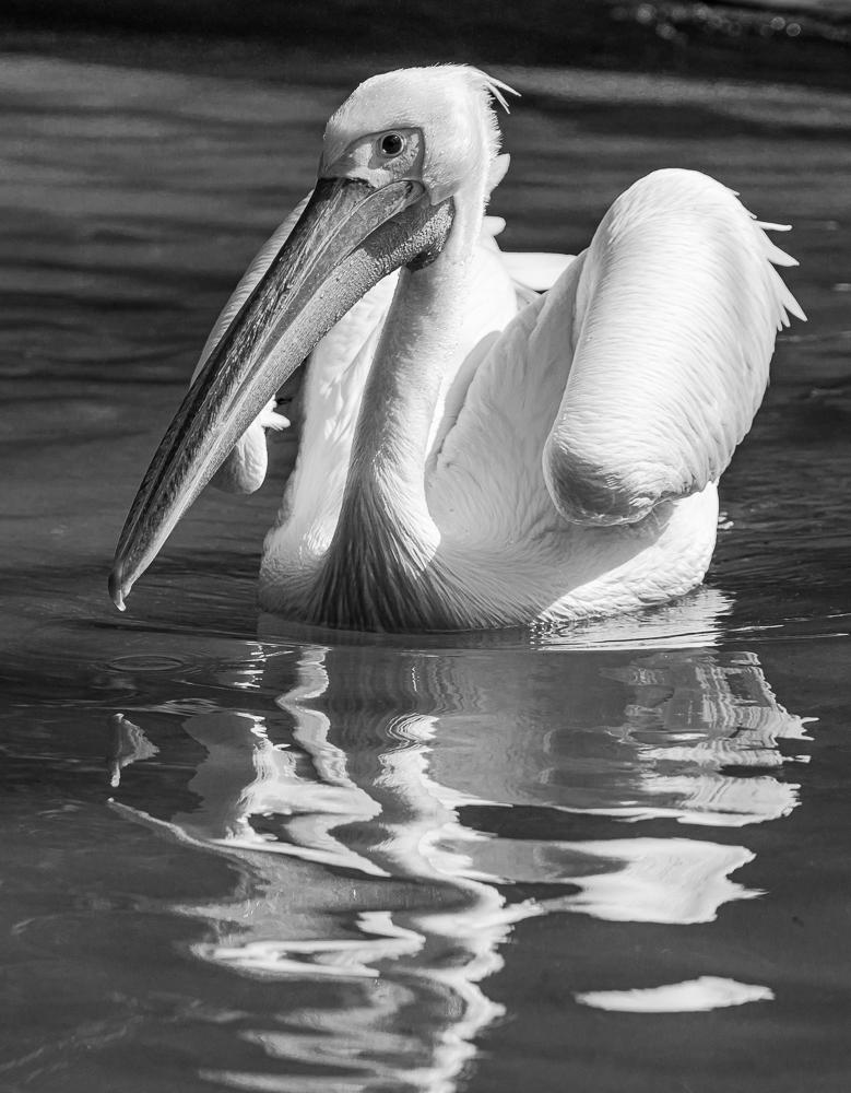 """White Pelican, San Diego Zoo"" in B&W"