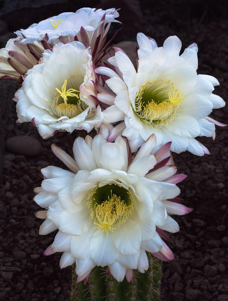 """""""Argentine Giant Cactus Blooms"""" in color"""