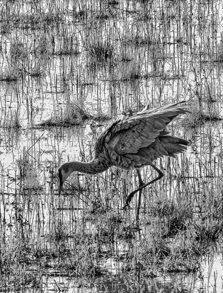"""""""Foraging Sandhill Crane, Bosque del Apache, NM"""" in B&W"""