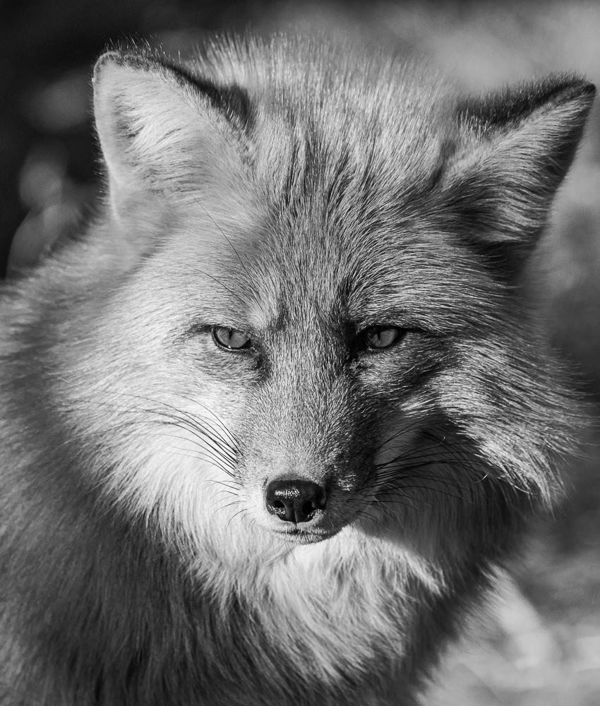 """""""Portrait of a Red Fox"""" in B&W"""