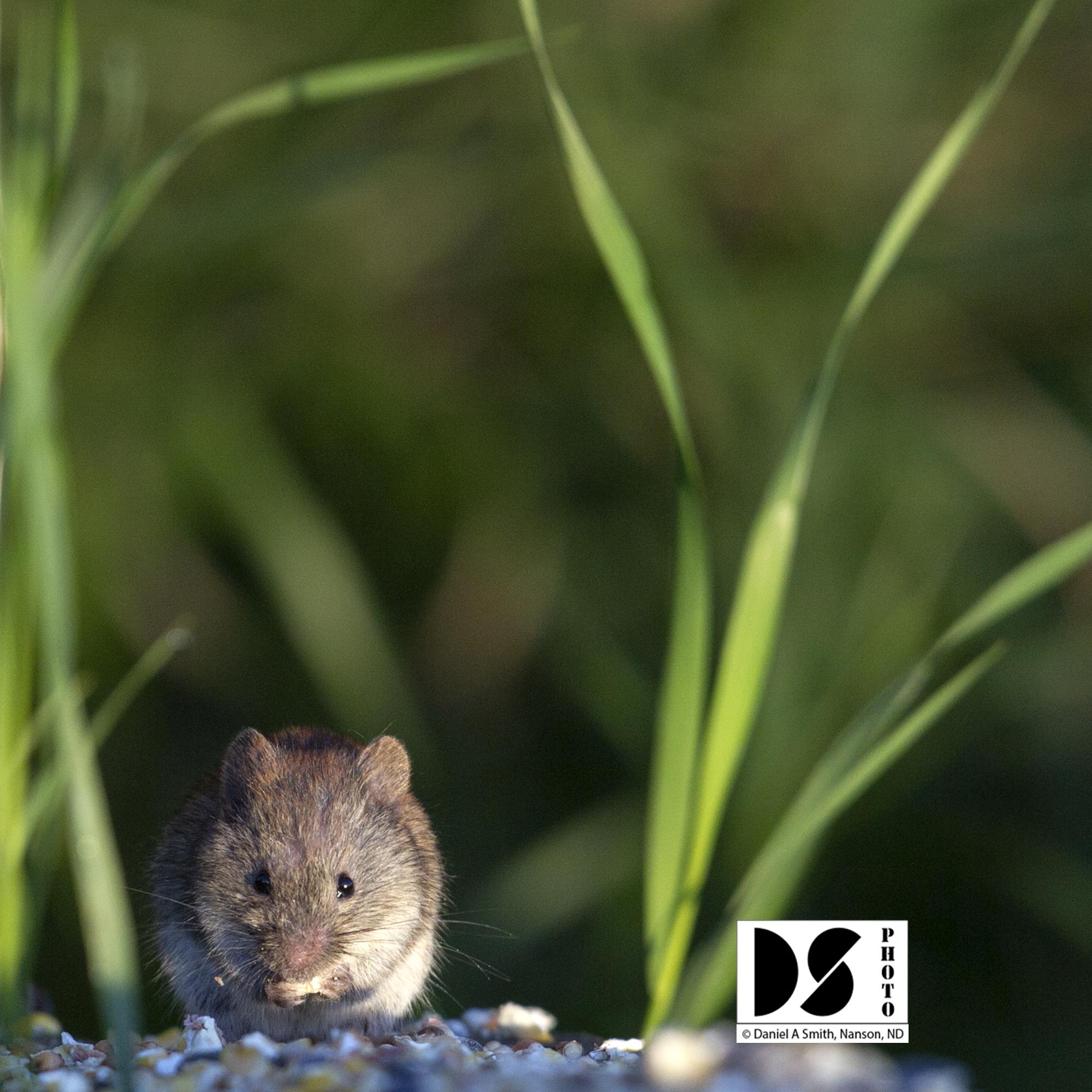 © 2020 Daniel A Smith, Field mouse feeding on spilled grain