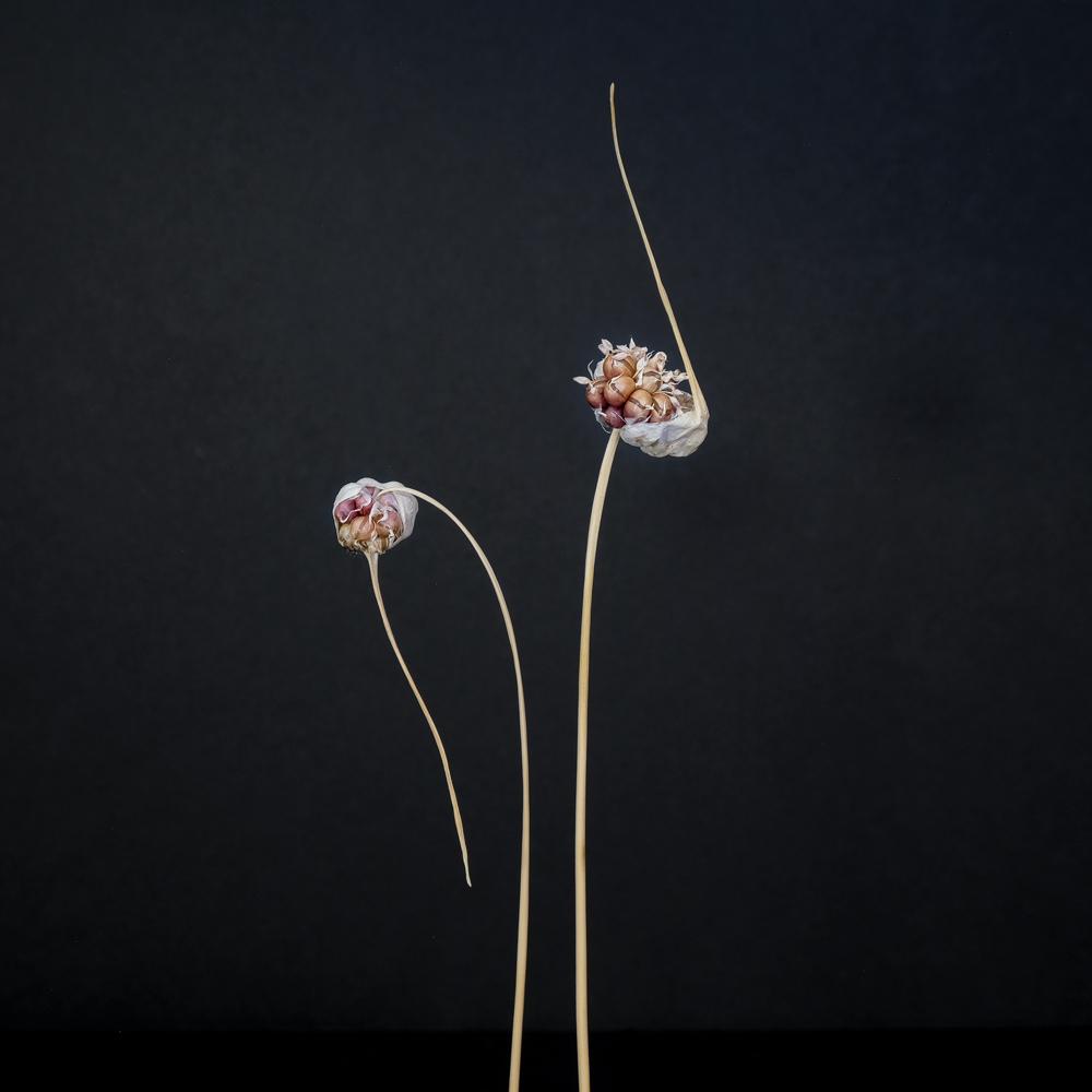 Maureen Ruddy Burkhart (USA) Allium Study #8From my series: Allium Study, wild onions and garlic gathered from my walks during lockdown https://www.maureenruddyburkhart.com/