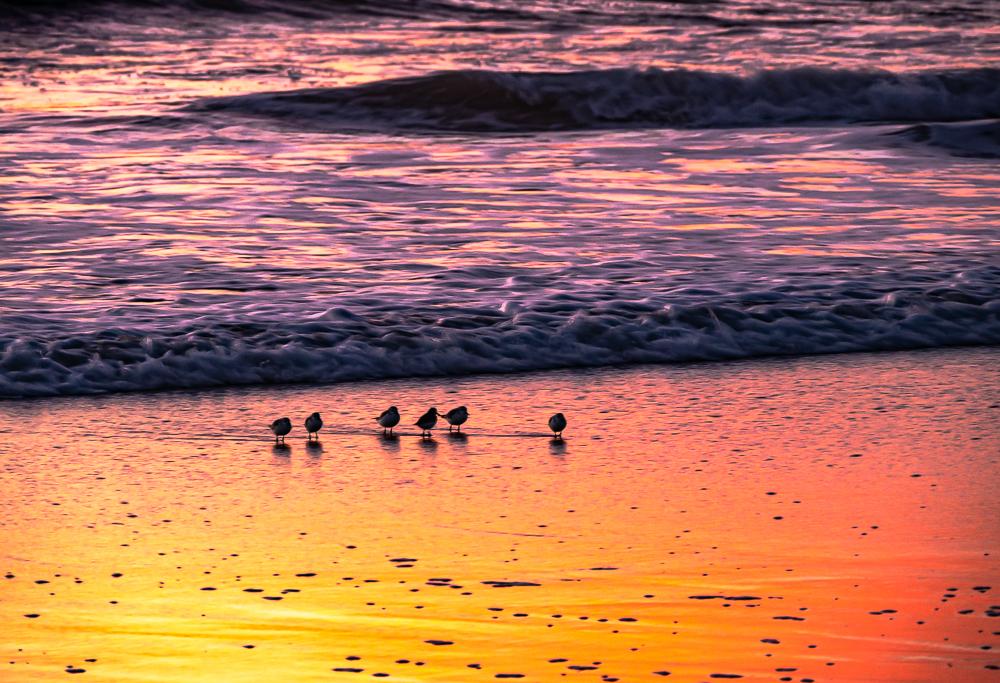 Shorebirds Foraging at Sunset
