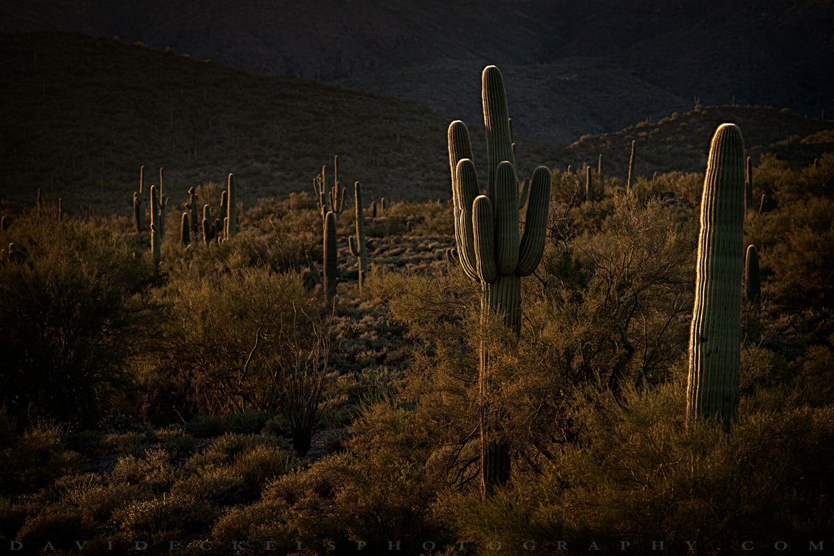 Saguaro-Sunset