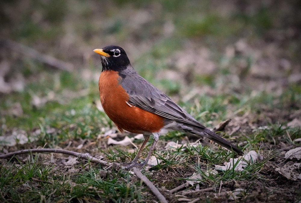 One of my first shots with the a1 - Robin 1/1600th sec., f/6.3, ISO 10,000