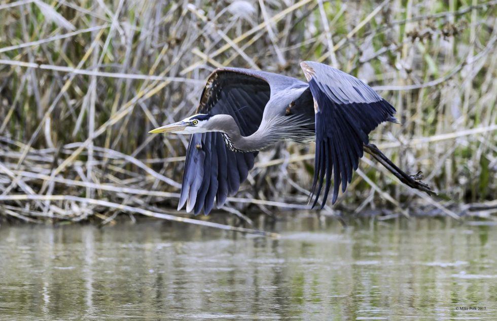 Great Blue Heron – Bear River Wildlife Refuge, Utah