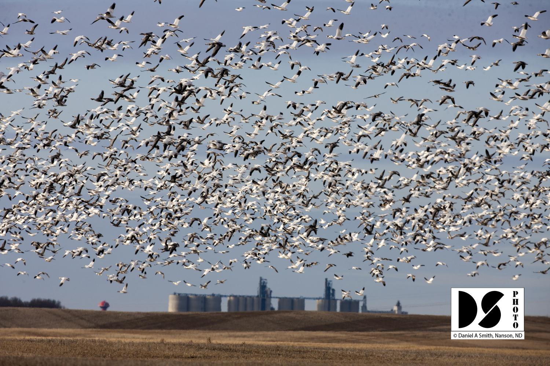 ©Daniel A. Smith, Geese & grain fields
