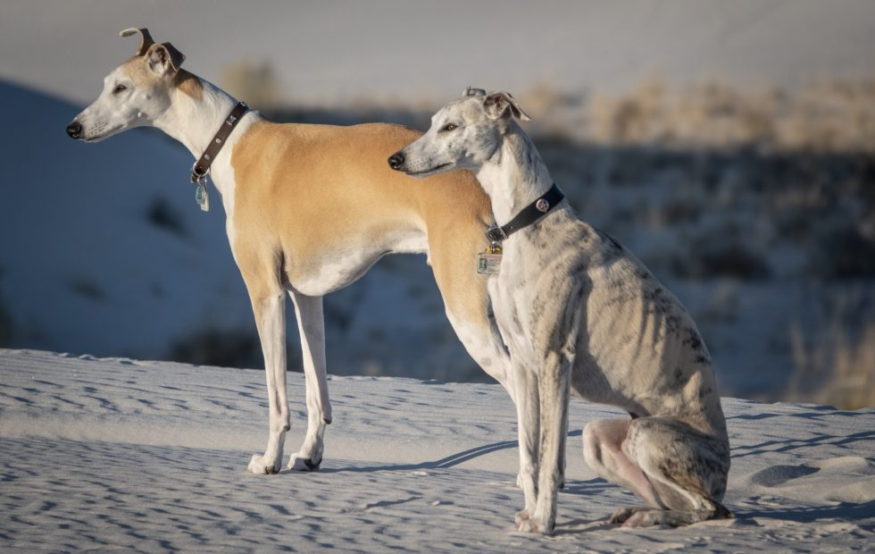 Whippets at White Sands
