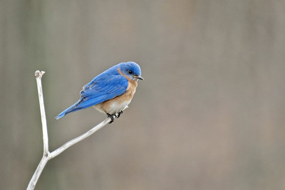First bluebird of th season