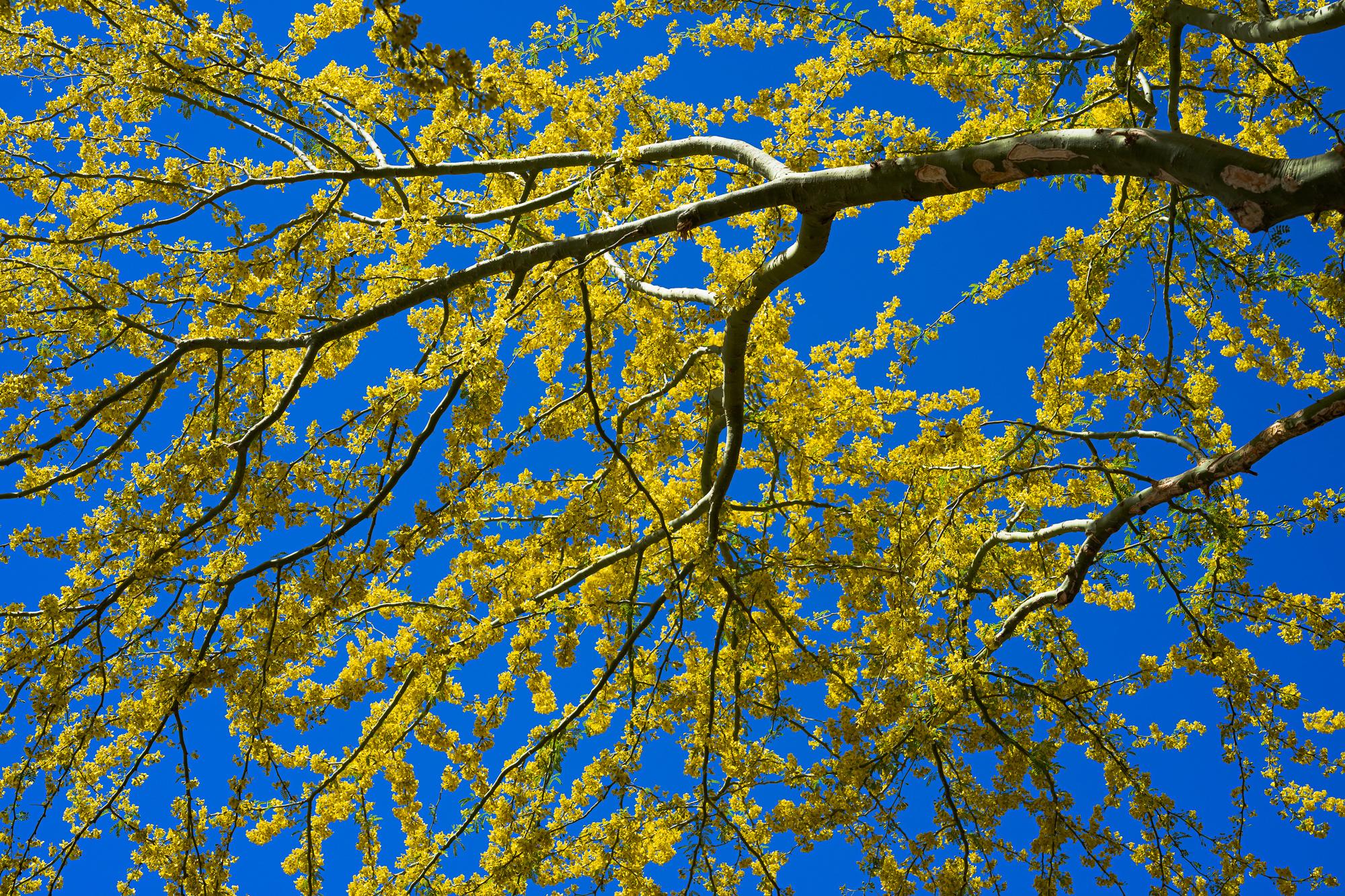 Palo Verde Blooms Illuminated by SkyLight