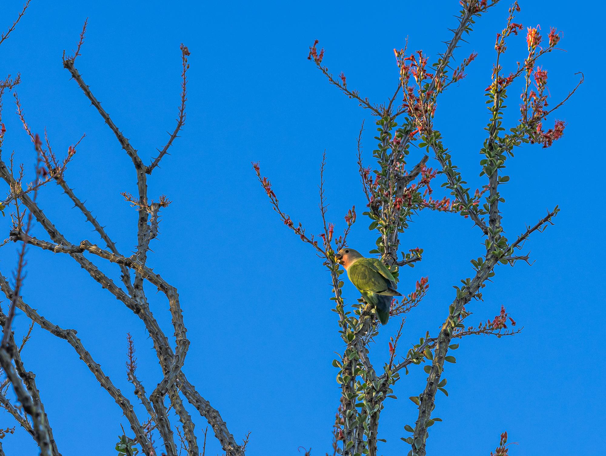 Peach-faced Lovebird, Goodyear, AZ
