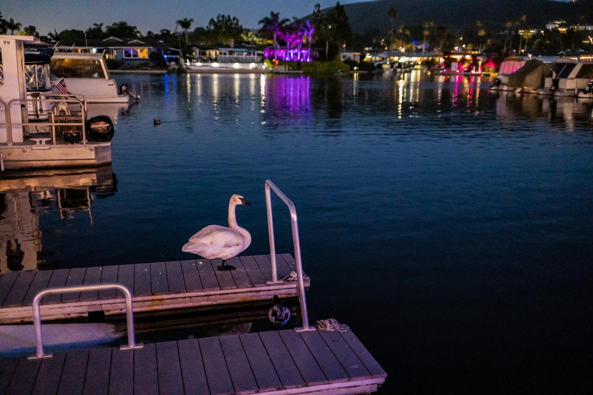 Swan in Near Darkness, San Marcos Lake, CA