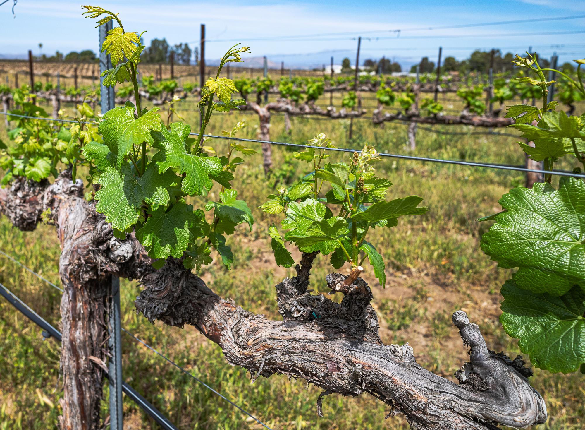 Grape Vines, Domaine Chardonnay, Temecula Wine Country