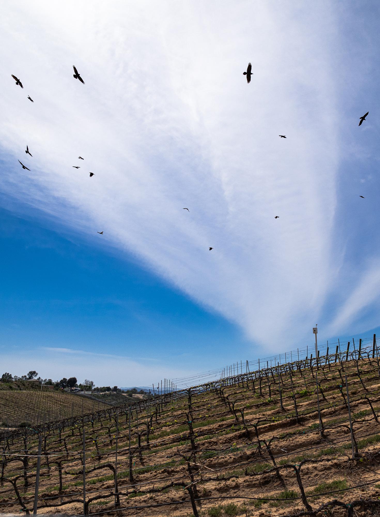 Ravens Circling a Dormant Vineyard in Temecula, CA
