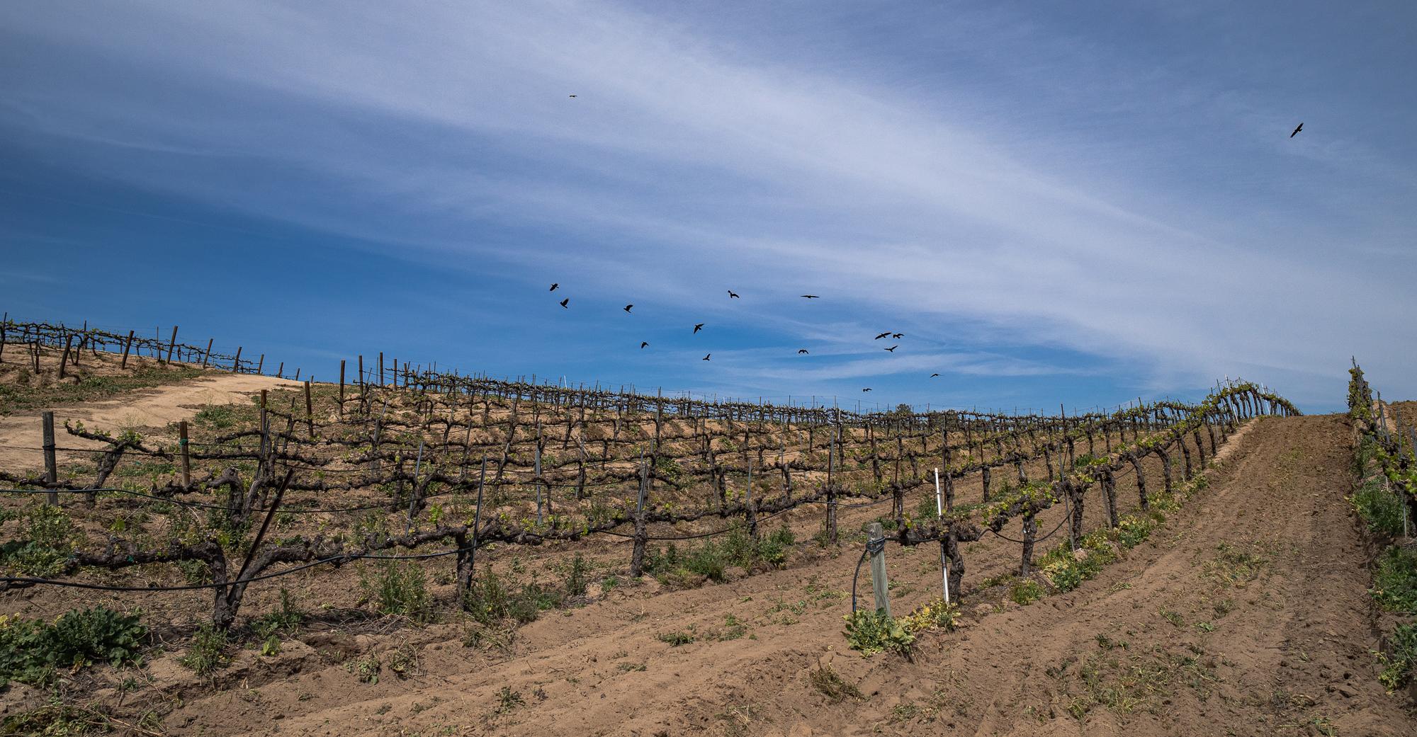 Ravens & Crows Above a Temecula Vineyard