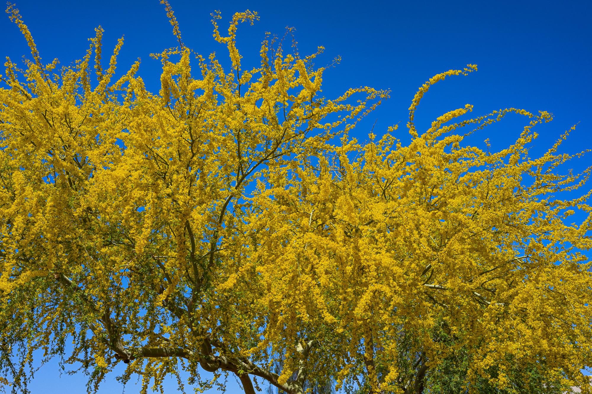 Palo Verde Trees in Bloom, Phoenix, AZ