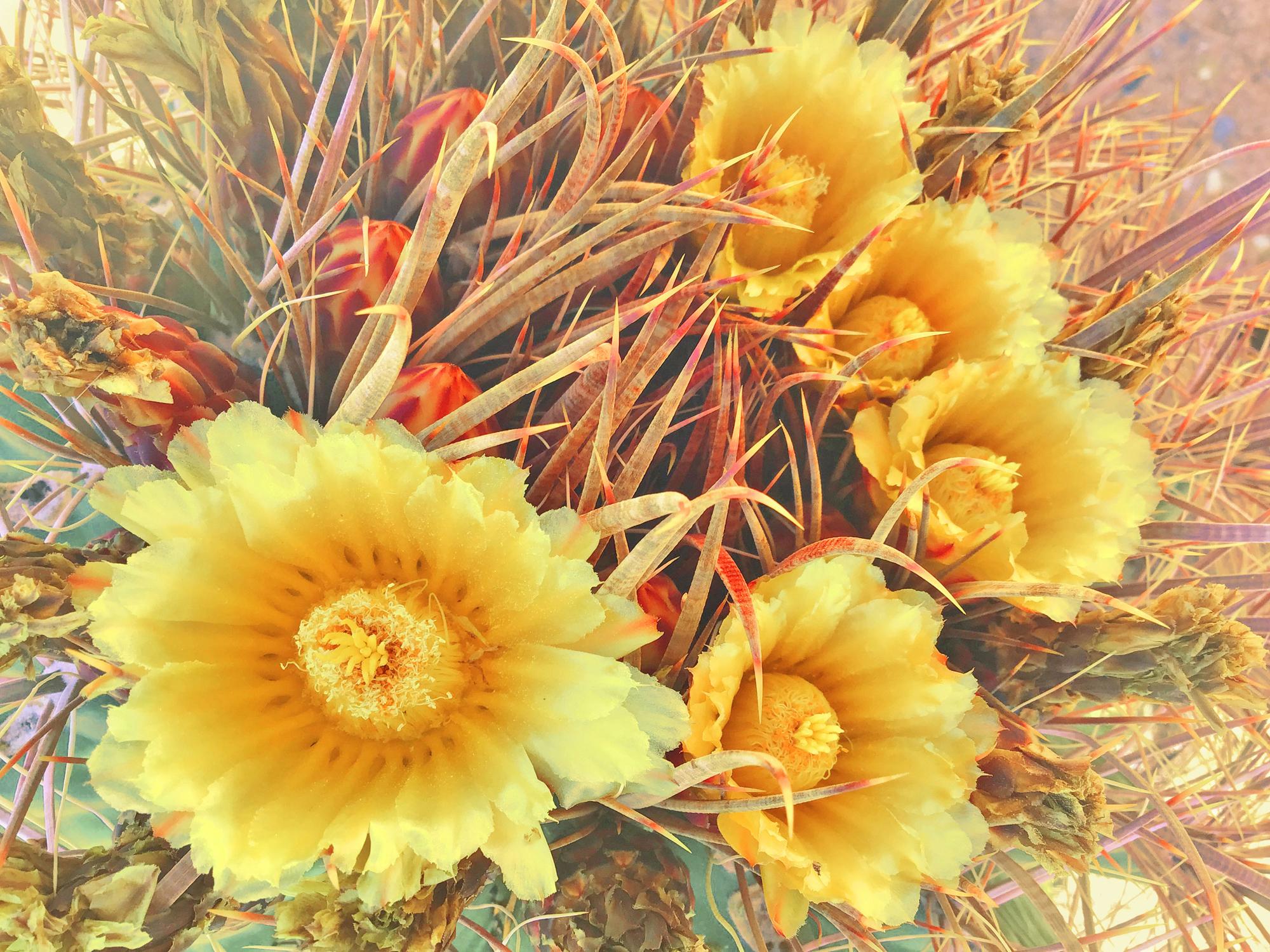 Warm Yellow Barrel Cactus Flowers