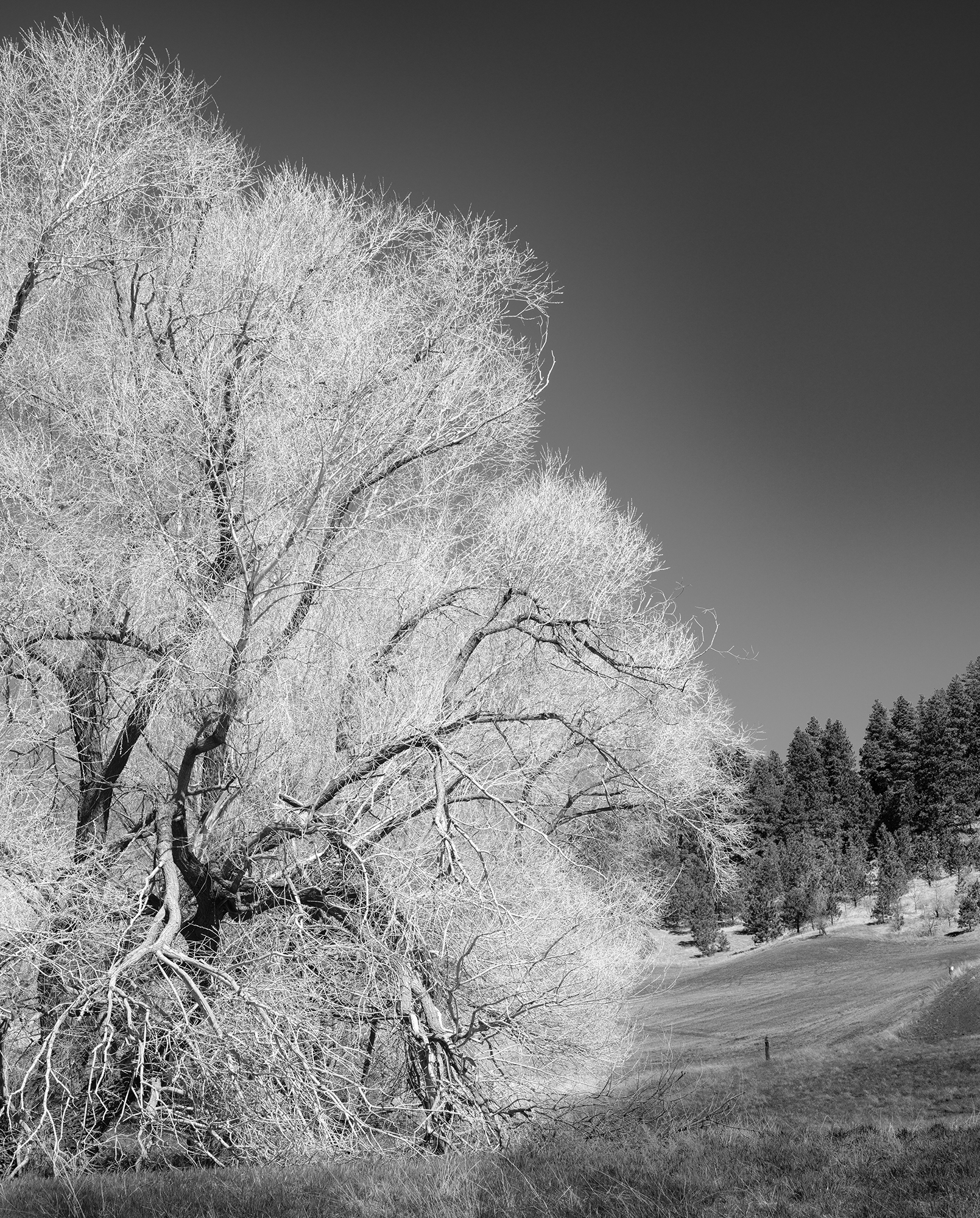"""This image looks like an infrared exposure, but it is a straight monochrome conversion; the tree was blooming with yellow flowers, turned white by a """"red filter"""" in Fuji's film simulation."""