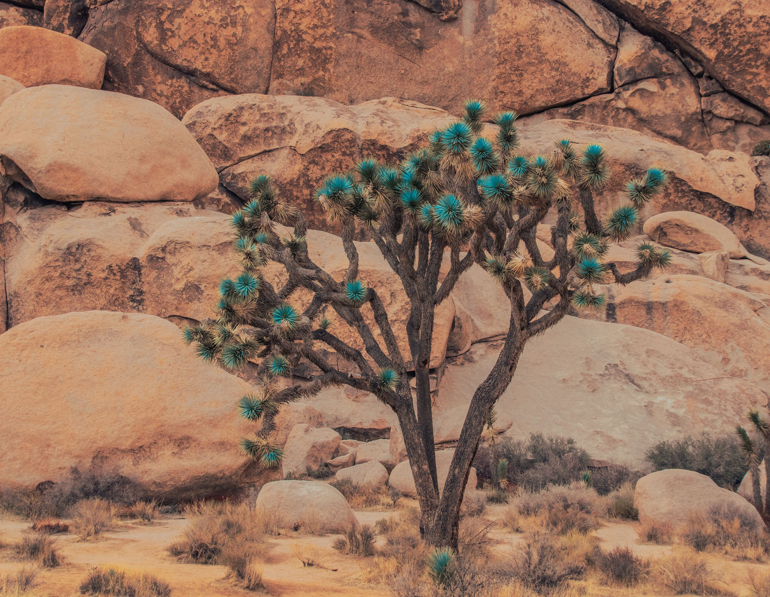 Joshua Tree with Turquoise Green leaves