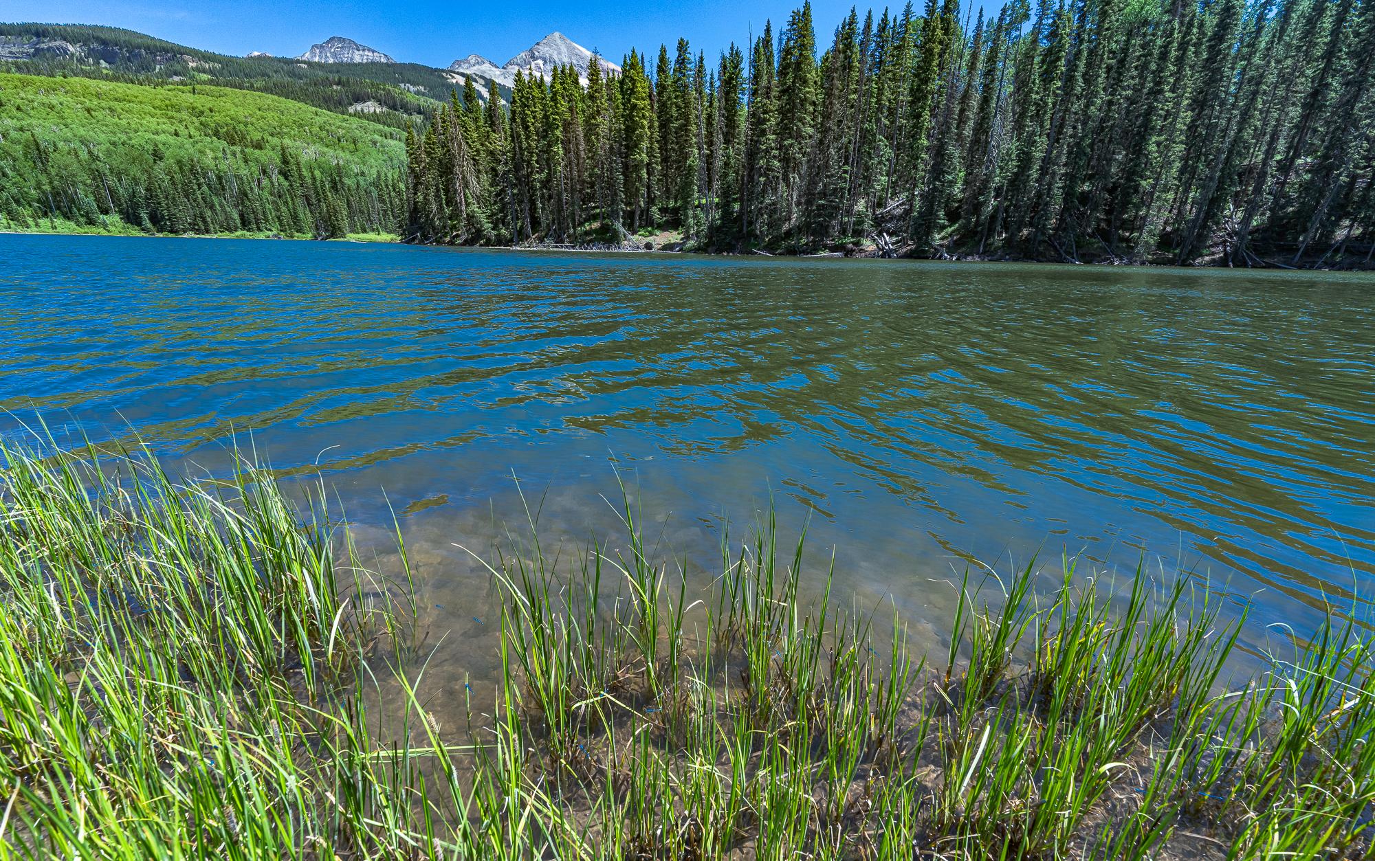 Damselflies at lake's edge, Woods Lake, CO