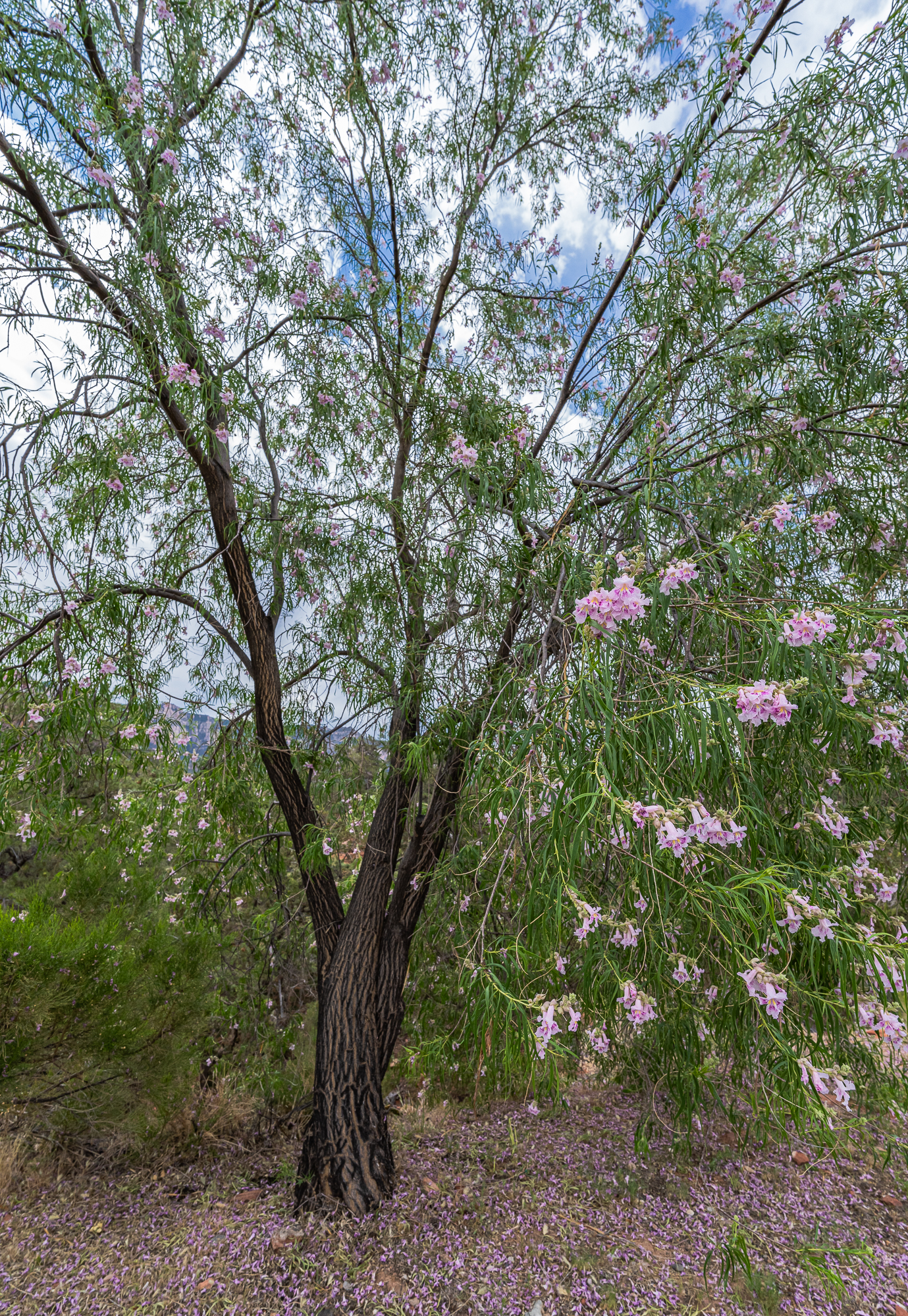 Desert Willow Tree – Front View