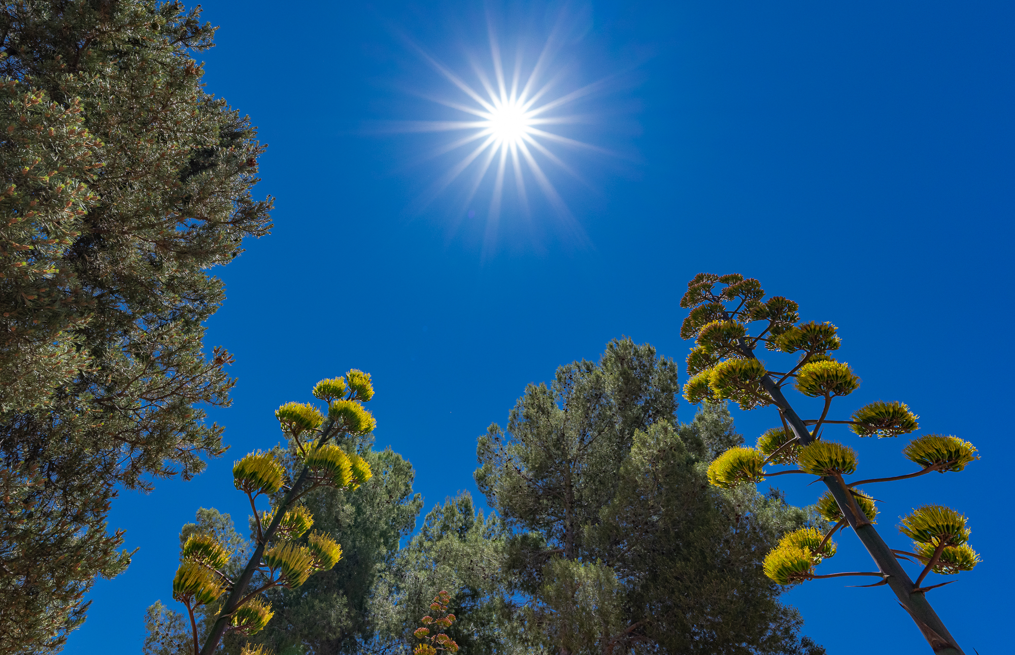 Stand of Agaves and Pines, and a Blazing Sun